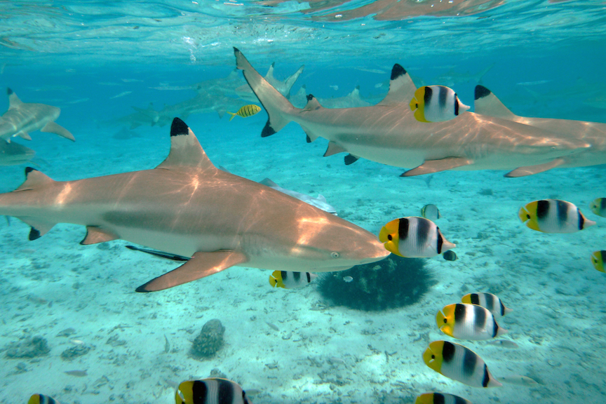 Scuba Diving With Sharks