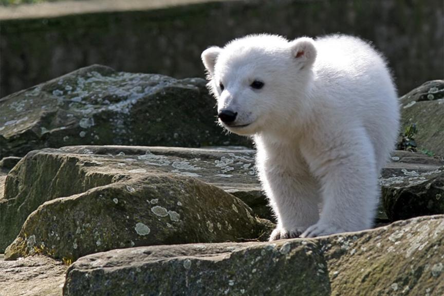 Baltasis lokys Knut