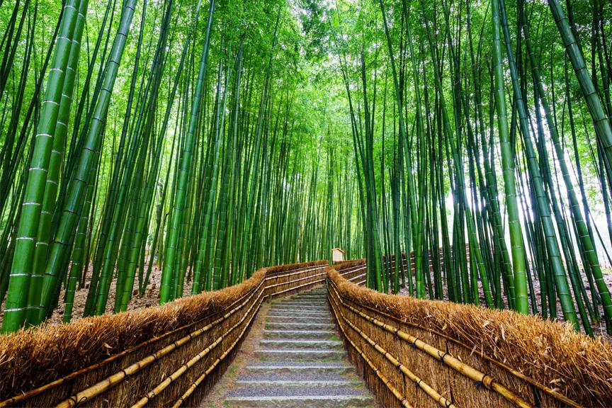 Bambukų miškas Japonijoje. Japonijos gamta.