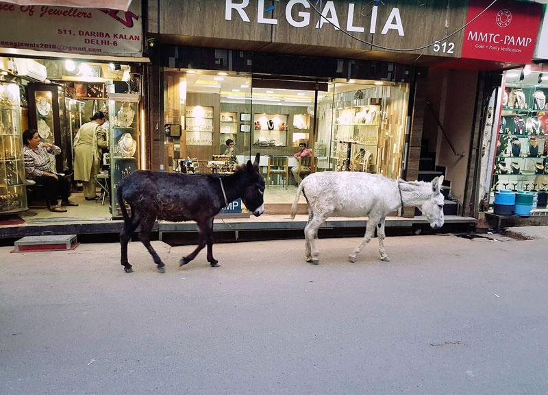 Laisvai keliaujantys gyvūnai Indijoje