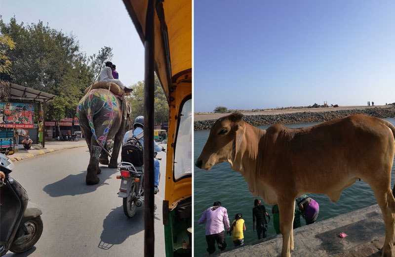 Keliaujantis dramblys Indijos gatvėse ir šventa karvė