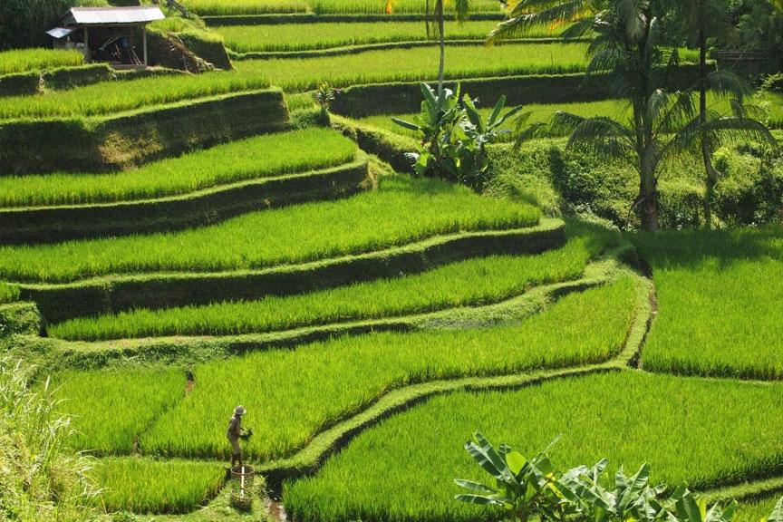 Ryžių terasos, Balis