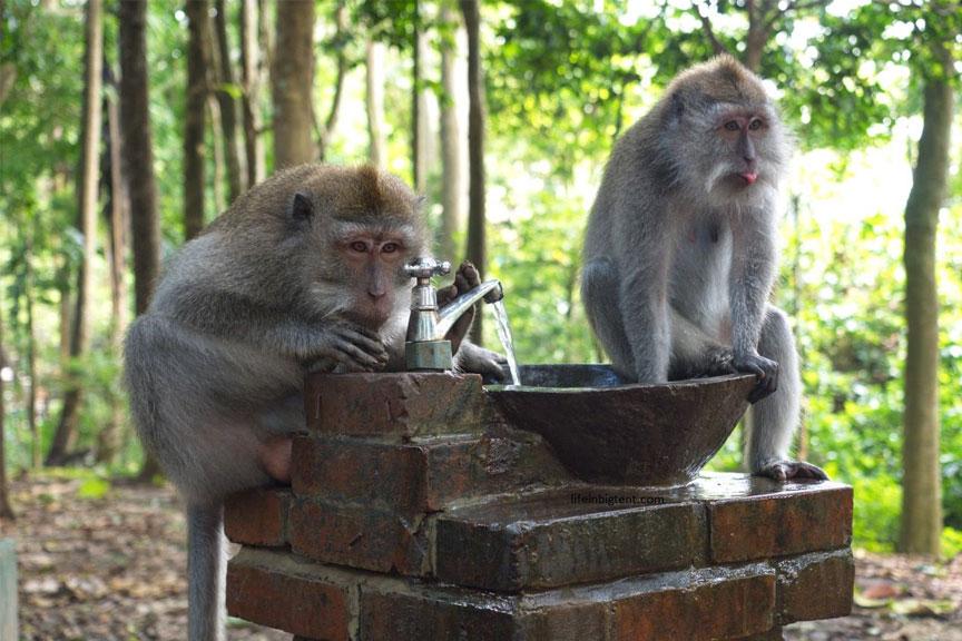 Beždžionių miškas, Balis